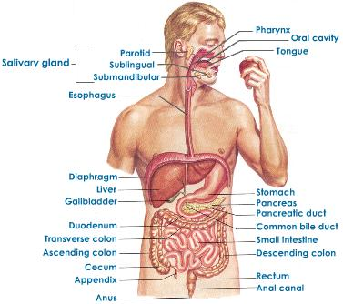 Human Body Organ System - Lessons - Tes Teach